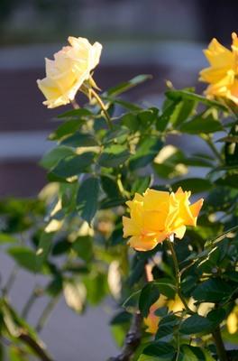 敷島バラ園 秋のバラ祭り_2012-10-08_01_.JPG