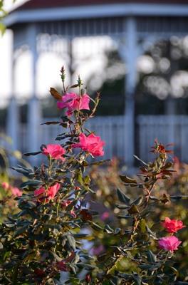 敷島バラ園 秋のバラ祭り_2012-10-08_02_.JPG