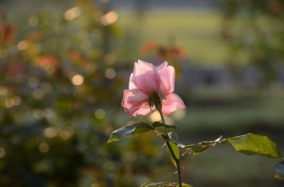 敷島バラ園 秋のバラ祭り_2012-10-08_07_.JPG