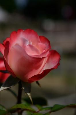 敷島バラ園 秋のバラ祭り_2012-10-13_10_.JPG