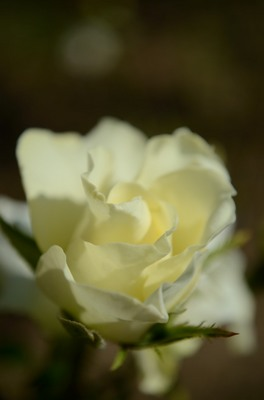 敷島バラ園 秋のバラ祭り_2012-10-13_12_.JPG