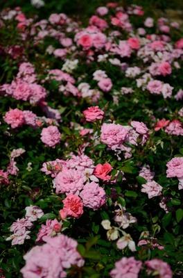 敷島バラ園 秋のバラ祭り_2012-10-13_14_.JPG