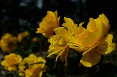 敷島バラ園 秋のバラ祭り_2012-10-13_15_.JPG