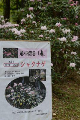 秩父石楠花園_140429_28.JPG