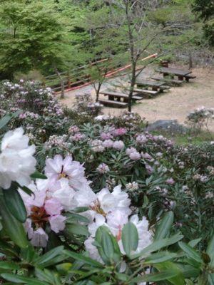 秩父石楠花園_140429_37.JPG